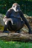 Den stora svarta gorillan sitter på gräset Royaltyfria Bilder