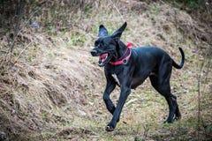 Den stora svarta hunden, öppnar munnen Royaltyfria Foton