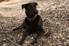 Den stora svarta hunden med vita ögon ligger på havsstenarna och ser försiktigt på något Sepia gammalt foto royaltyfri foto