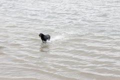 Den stora svarta hundkapplöpningen kör i vatten som håller en boll i hans mounth Arkivfoto