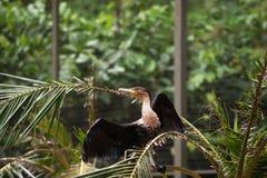 Den stora svarta kormoranfågeln med svart påskyndar sammanträde på filial Royaltyfri Fotografi