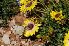 Den stora sydliga vita fjärilen på guling och lilor blommar Fotografering för Bildbyråer