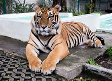 Den stora tigernaturen parkerar skogen Arkivbilder