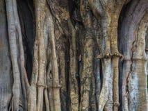 Den stora trädkroppshowen många av invecklat rotar tätt och omger trädet royaltyfri foto