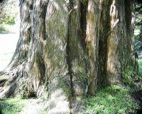 Den stora trädstammen skapar modeller bland skuggorna arkivfoto