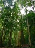Den stora treen i Thailand Arkivbild