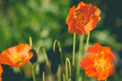 Den stora turkiska Papaverorientalen i solljus Den orientaliska vallmo, Papaverorientale Trädgård under solljus bostonian royaltyfri fotografi