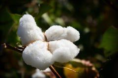 Den stora vita blomman av bomull på är vi gröna en bakgrund Royaltyfri Fotografi
