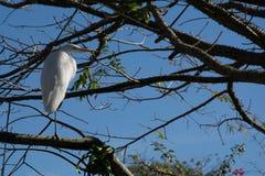 Den stora vita fågelhägret stod upp på en filial av ett träd Royaltyfria Bilder