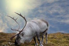 Den stora vita hjorten står på gräsyttersidan Solljus, blåa himlar och moln i bakgrunden fotografering för bildbyråer