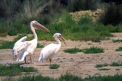 Den stora vita pelikan också som är bekant som den östliga vita pelikan, rosig pelikan eller den vita pelikan Royaltyfri Bild