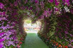Den stora wisteriablommabågen Arkivbilder