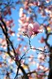 Den storartade magnolian Royaltyfri Bild