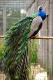 Den storartade påfågeln sitter på en pol Arkivfoto
