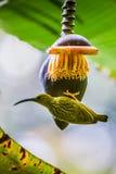 Den strimmiga spiderhunteren (Arachnothera magnumbuteljer) Royaltyfria Bilder