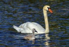 Den stumma svanen, cygnusoloren, moder och behandla som ett barn arkivfoto