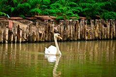 Den stumma svanen simmar i floden royaltyfri foto