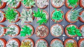 Den suckulenta växten för kaktuns i blomkrukan, den lekmanna- lägenheten - färga signalen Arkivfoton