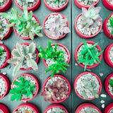 Den suckulenta växten för kaktuns i blomkrukan, den lekmanna- lägenheten - färga signalen royaltyfria foton