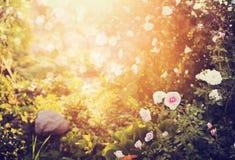 Den suddiga höstträdgården eller parkerar naturbakgrund med rosblommor Arkivbilder