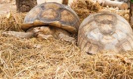 Den Sulcata sköldpaddan, afrikan sporrade sköldpaddan Royaltyfri Bild