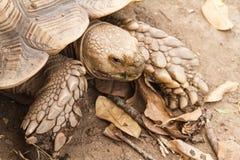 Den Sulcata sköldpaddan, afrikan sporrade sköldpaddan Royaltyfri Fotografi