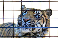 Sumatran tiger arkivfoto