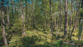 Den sumpiga skogen av Belovezhskaya Pushcha arkivbilder