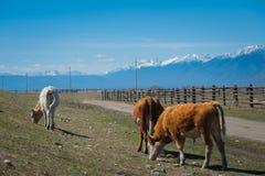 Den sunda och väl matade kon betar på i bergen, med den selektiva fokusen Royaltyfri Foto