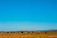 Den sunda och väl matade kon betar på i bergen, med den selektiva fokusen Arkivbild