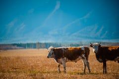 Den sunda och väl matade kon betar på i bergen, med den selektiva fokusen Arkivfoton