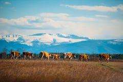 Den sunda och väl matade kon betar på i bergen, med den selektiva fokusen Fotografering för Bildbyråer