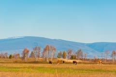 Den sunda och väl matade kon betar på i bergen, med den selektiva fokusen Royaltyfri Bild