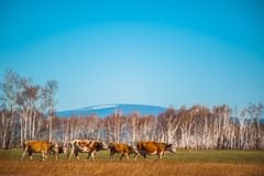 Den sunda och väl matade kon betar på i bergen, med den selektiva fokusen Royaltyfria Bilder