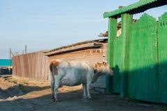 Den sunda och väl matade kon betar på i bergen, med den selektiva fokusen Royaltyfri Fotografi