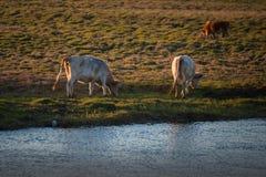 Den sunda och väl matade kon betar på i bergen, med den selektiva fokusen Arkivfoto
