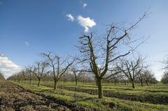 Den sura körsbärsröda fruktträdgården lutar Arkivbild