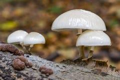 Den svamp Oudemansiella för utsmyckat porslin mucidaen på ett dött stycke av trä royaltyfri fotografi