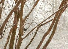 Den svartögda juncoen sätta sig på en trädfilial i den snöig vintern tim royaltyfri bild