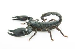 Den svart scorpionen i strid placerar royaltyfria foton