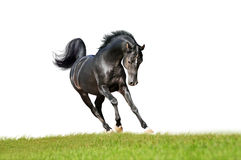 Svart uttrycksfull arabisk häst som isoleras på vit Royaltyfria Bilder