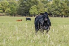 Den svarta Angus kon i sommar betar arkivfoto