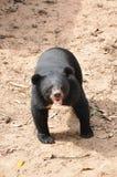 Den svarta björnen Royaltyfri Fotografi