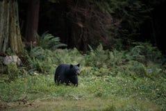 Den svarta björnen strosar till och med gräset Royaltyfri Fotografi