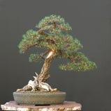den svarta bonsaijapanen sörjer Arkivbilder