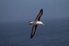 Den svarta browed albatrossen flyger över havet Royaltyfri Fotografi