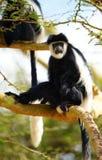 den svarta colobusen härmar white Arkivfoton