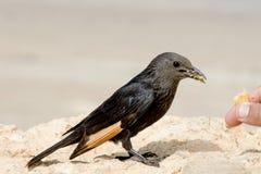 Den svarta fågeln äter matsammanträde på ljus stenbackgtround, closeup Arkivfoto