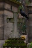 Den svarta fågeln Arkivfoton
