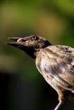 Den svarta fågeln med kärnar ur Arkivfoto